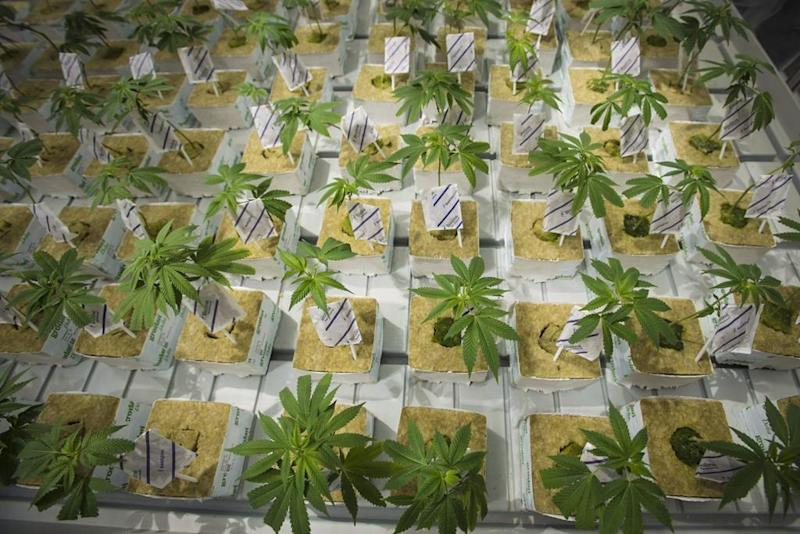 CannTrust Holdings greenhouse licenses reinstated, plans restart of operations