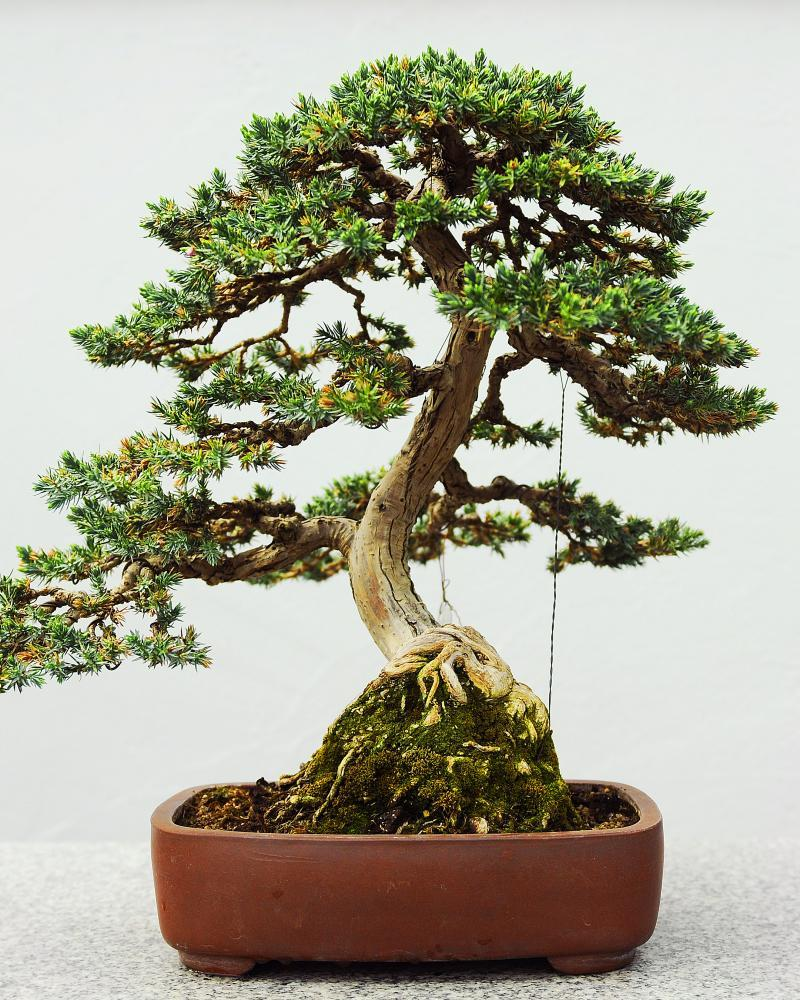 Small wonders: a bonsai tree. But before you buy bonsai seeds, know that bonsai is a technique, not a species.