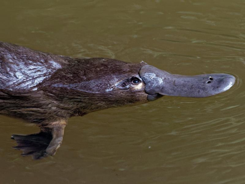 Scientists are calling for greater protection for the duck-billed platypus which lives in eastern Australia's rivers: Getty