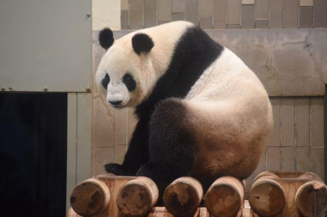 Giant panda gives birth at Tokyo Zoo; 1st cub in 5 years