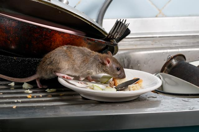 The rats were rewarded with food as they made their way around the driving arena (Getty/file pic)
