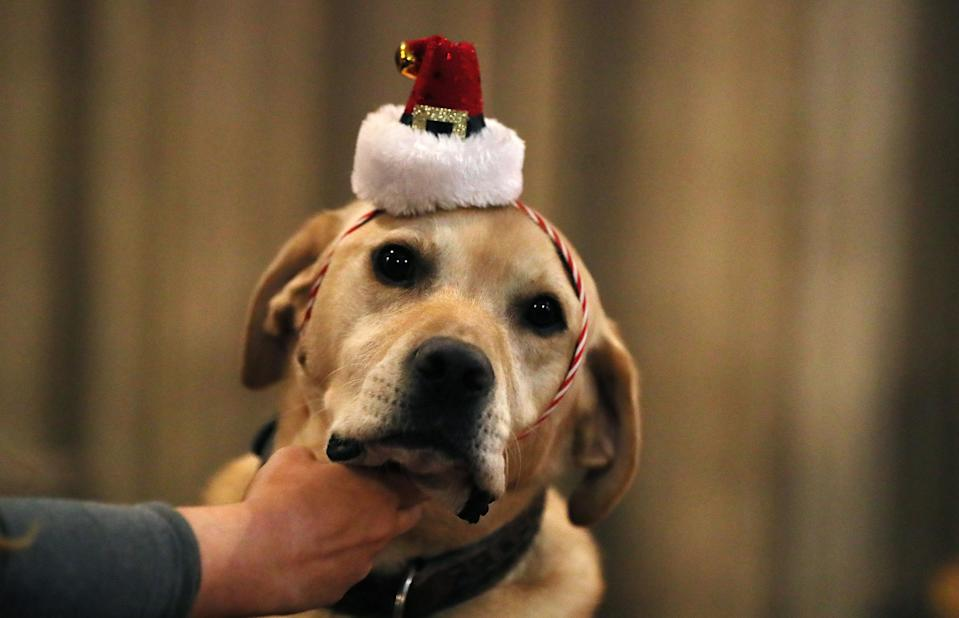 <p>Billy the labrador during the annual lunchtime Peata Therapy Dog Carol Service at Christ Church Cathedral in Dublin. (PA) </p>