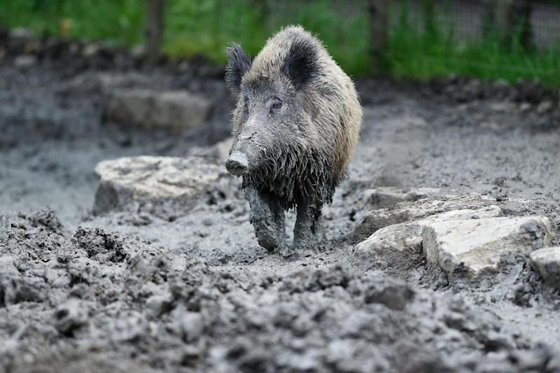 A wild boar chased Britain's Ambassador to Austria while he travelled through woodland in Vienna: AFP/Getty Images