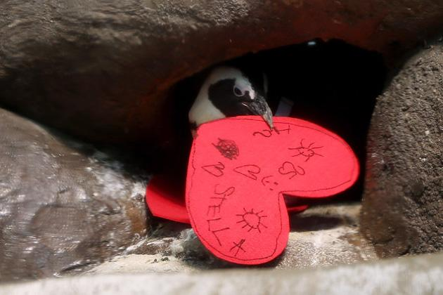 An African Penguin pulls a Valentine's Day card into its nest box at the California Academy of Sciences on February 13, 2013 in San Francisco, California.  In honor of Valentine's Day, the colony of African Penguins at the California Academy of Sciences received heart-shaped red valentines with hand written messages from Academy visitors.  (Photo by Justin Sullivan/Getty Images)