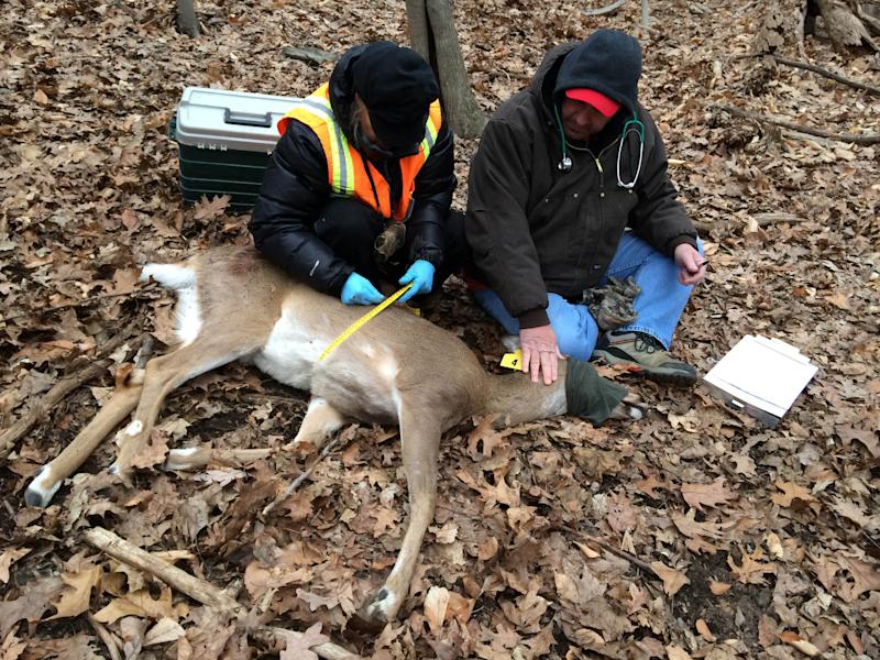 In this March 25, 2014 photo provided by the Humane Society of the United States, Humane Society workers Kayla Gram, left and Rick Naugle take the measurements of a tagged and tranquilized doe as part of a contraceptive program to control the deer population in Hastings-on-Hudson, N.Y. Organizers say harsh weather, red tape and the unpredictability of the animals all interfered with the program and they only managed to inject a contraceptive into eight does last month. An estimated 120 deer have overrun the two-square mile village, which has resisted any lethal method of culling the herd. (AP Photo/Humane Society of the United States, Yvonne Forman)