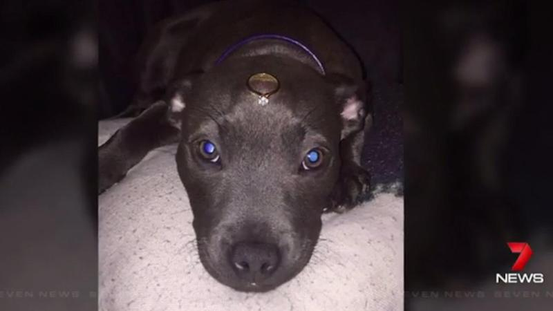 Adelaide couple plead for return of puppy so she can carry the rings