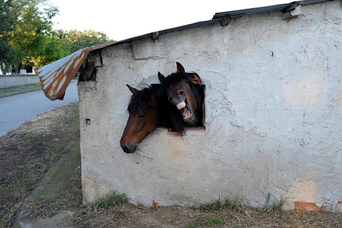 <p>Horses look out a window of their stable near the village of Pontoiraklia, Greece, May 27, 2016. (REUTERS/Marko Djurica) </p>