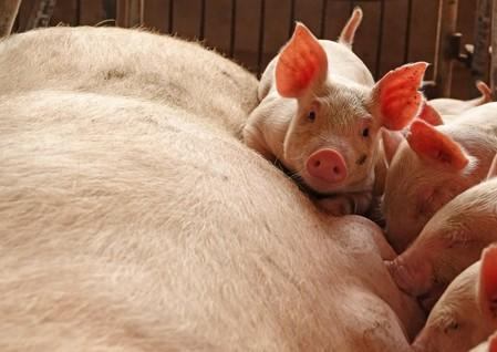 Piglets are seen by a sow at a pig farm in Zhoukou