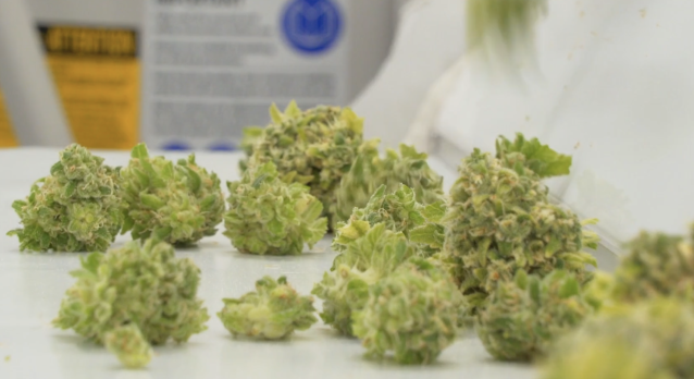 Cannabis buds in production at an Organigram facility. (Provided)