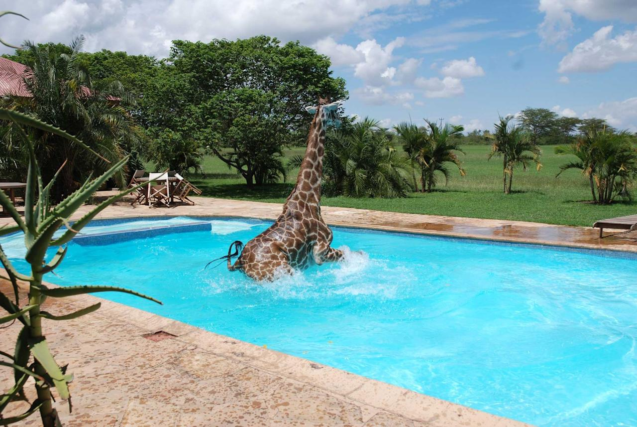 This cheeky giraffe takes a dip in a swimming pool to cool off from the hot weather (Caters)