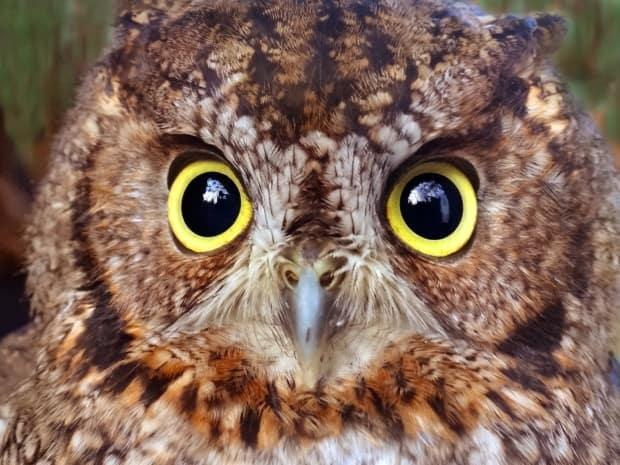 Western Screech-owls are at risk on B.C. due to its small population size and loss of breeding and foraging habitat. (Ann Nightingale - image credit)