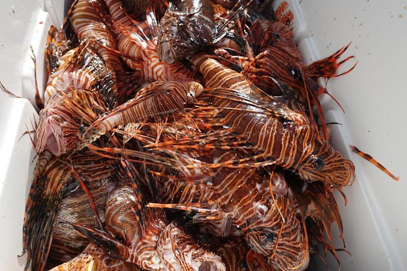 Lionfish caught during a hunting derby in the waters off Islamorada, Florida are placed in a cooler (AFP Photo/Kerry Sheridan)