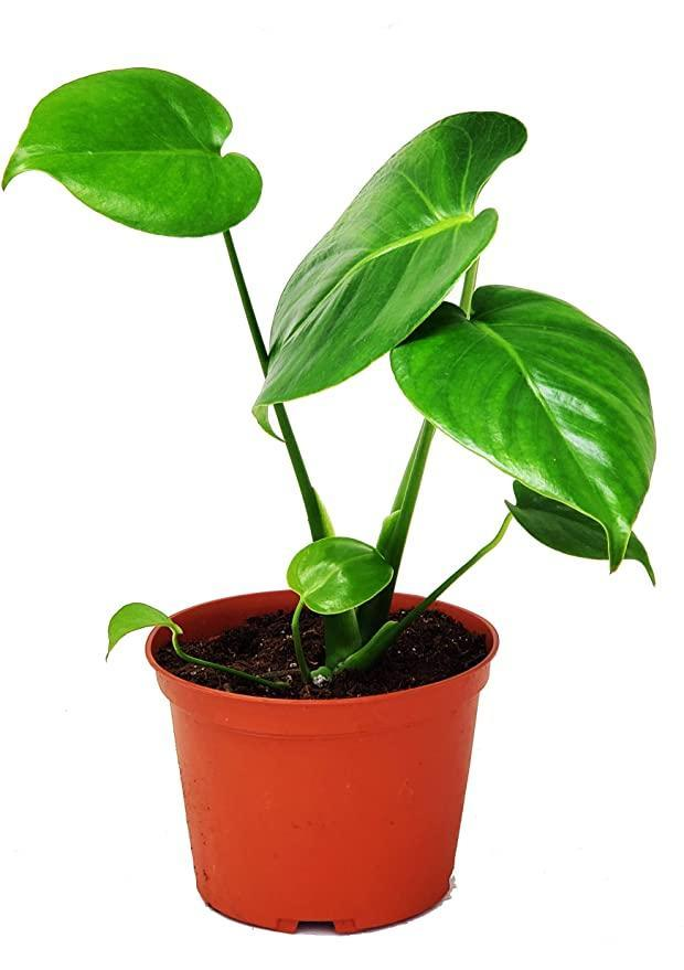 """<h2>JM Bamboo Brazil Philodendron<br></h2><br><strong>The Hype: </strong>4.4 out of 5 stars and 120 reviews<br><br><strong>Plant Parents Say: """"</strong>Full and beautiful out of the box!!! <em>So</em> worth it! I now have my dream plant in my home. Thank you for shipping quality plant... All I did was take off the bag and wipe down the leaves.""""<br><br><em>Shop</em><strong><em> <a href=""""https://amzn.to/3r9c1oH"""" rel=""""nofollow noopener"""" target=""""_blank"""" data-ylk=""""slk:JM Bamboo"""" class=""""link rapid-noclick-resp"""">JM Bamboo</a></em></strong><br><br><strong>JM Bamboo</strong> Split Leaf Philodendron, $, available at <a href=""""https://amzn.to/3hpVjgi"""" rel=""""nofollow noopener"""" target=""""_blank"""" data-ylk=""""slk:Amazon"""" class=""""link rapid-noclick-resp"""">Amazon</a>"""