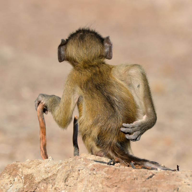 Martin Grace's Socially Uninhibited shows a baboon having a good old scratch (Martin Grace/The Comedy Wildlife Photography Awards 2020)
