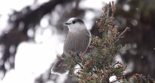A grey jay, or Canada jay, is known for its friendly, tame manner and penchant for begging. Some naturalists are worried the hardy winter bird may be on the decline in Alberta.
