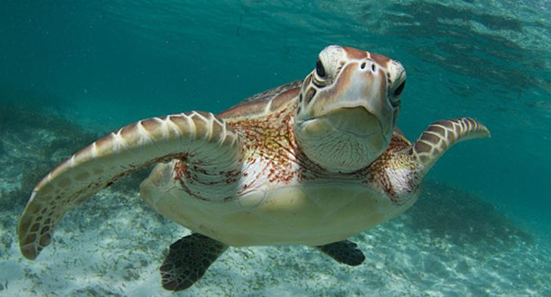 More than half of the world's sea turtles are thought to have plastic in their guts according to CSIRO researchers studying the environment