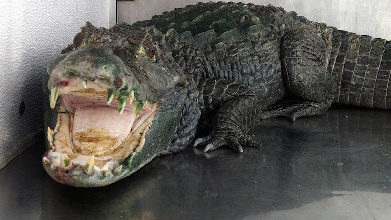 Alligator kills swimmer in southern US
