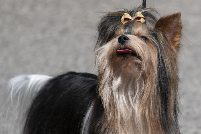 A biewer terrier is presented for journalists during a news conference, Tuesday, June 8, 2021, in Tarrytown, N.Y., at the Lyndhurst Estate where the 145th Annual Westminster Kennel Club Dog Show will be held outdoors, (AP Photo/John Minchillo)