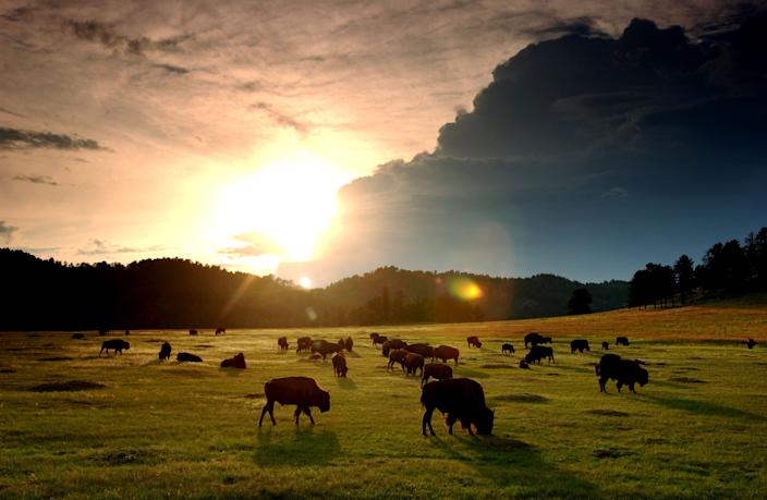 The sun sets behind a herd of bison in Wind Cave National Park in the southern Black Hills of South Dakota.