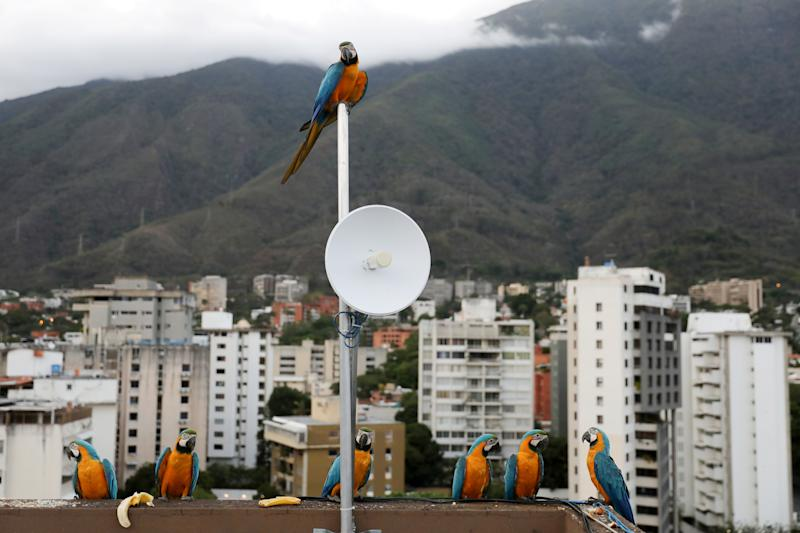 Macaws stand on the rooftop of a Caracas building with the Avila mountain in the background. (Photo: Manaure Quintero/Reuters)