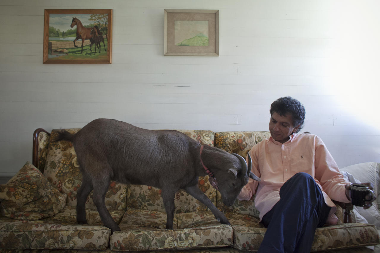 """Cyrus Fakroddin and his pet goat Cocoa relax at their home in Summit, New Jersey April 7, 2012. Cocoa is a 3-year-old Alpine Pygmy mixed goat who lives with Cyrus in Summit, New Jersey. They frequently take trips into Manhattan to enjoy the city. Fakroddin has raised Cocoa since she was 2 months old and treats her like a human. He says that Cocoa can't sleep at night unless she has him in her sight. """"Cocoa doesn't even know she is a goat and you see that in her, but she loves hanging out with people,"""" Fakroddin said. Picture taken April 7, 2012. REUTERS/Allison Joyce (UNITED STATES - Tags: SOCIETY ANIMALS)"""