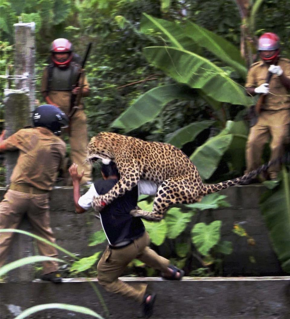"<div class=""inline-image__caption""><p>In this July 19, 2011 photo, a leopard attacks a forest guard at Prakash Nagar village near Salugara, on the outskirts of Siliguri, India. The leopard strayed into the village area and attacked several villagers, including at least four guards, before being caught by forest officials, according to news reports. </p></div> <div class=""inline-image__credit"">AP Photo</div>"