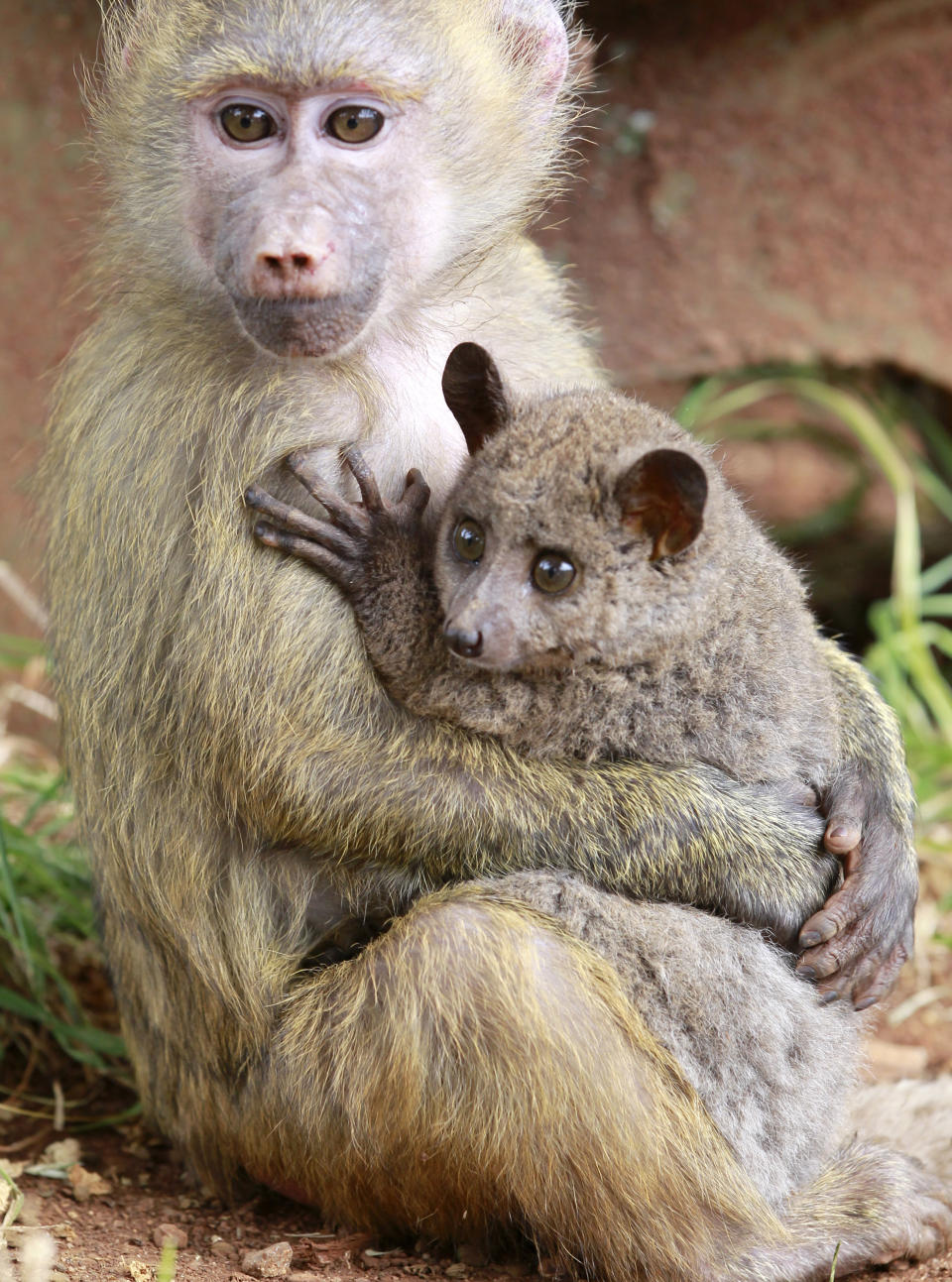 A seven-months-old yellow baboon (Papio cynocephalus) carries a Galagos also known as a bushbaby at the Animal Orphanage in the Kenya Wildlife Service (KWS) headquarters in Nairobi, June 10, 2011. Defying nature, the Yellow Baboon, rescued in Maralal (northern Kenya) has quickly adopted a Galagos, rescued in Nyeri (central Kenya), after meeting at the orphanage giving it affection and protection as if it were her own offspring. Yellow baboons inhabits savannas and light forests in the eastern Africa while Galagos are small, nocturnal primates native to continental Africa. REUTERS/Thomas Mukoya