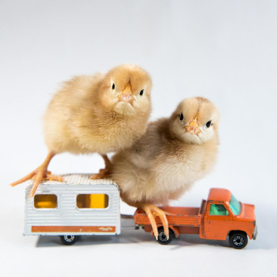 <p>Two chicks sit atop of a truck pulling an RV. (Photos: Alexandra C. Daley-Clark/sillychickens.com) </p>