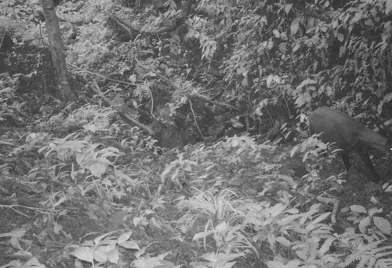 This Sept. 7, 2013 photo released by WWF, shows the Saola in a forest in Vietnam. The Saola, a long-horned ox, one of the rarest and most threatened mammals on earth has been caught on camera in Vietnam for the first time in 15 years, renewing hope for the recovery of the species, the international conservation group said, Wednesday, Nov. 13, 2013. (AP Photo/WWF)