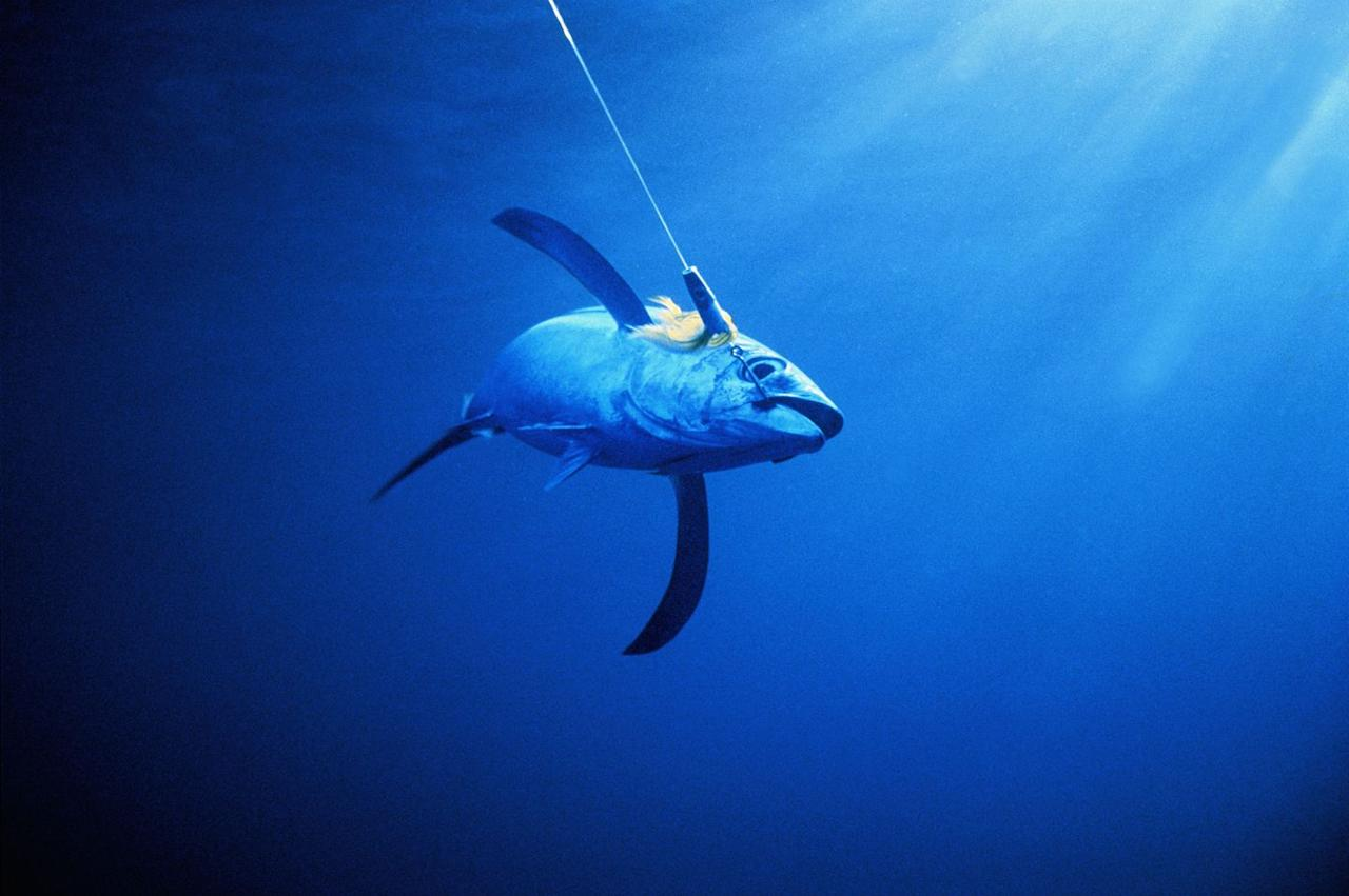 "<p>It's hard for scientists to judge how many albacore tuna are left out there in the sea, but they do know that the species is considered <a href=""https://www.worldwildlife.org/species/albacore-tuna"" target=""_blank"">near threatened</a>. This means that while they aren't quite vulnerable or endangered, they're getting there. </p>"