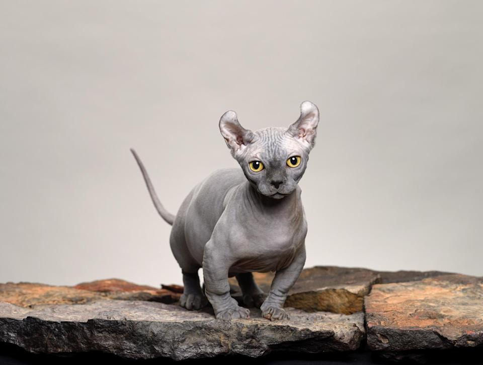 "<p><a href=""https://icatcare.org/advice/dwelf/"" rel=""nofollow noopener"" target=""_blank"" data-ylk=""slk:Dwelf"" class=""link rapid-noclick-resp"">Dwelf</a> hairless cats are dwarf cats—small in size but big on personality. These cats are born with a multitude of inherited traits: the short legs of a Munchkin, the hairless body of a Sphynx, and the curled ears of an American Curl.</p>"