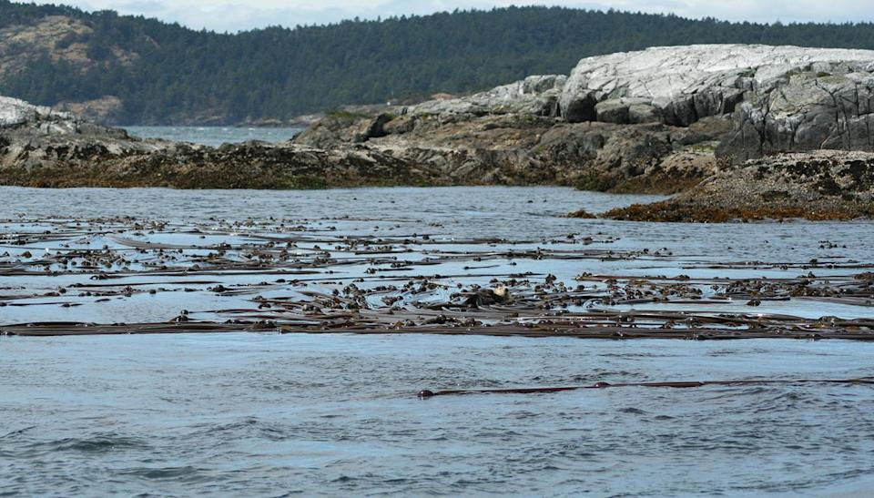 <p>Where there's kelp, be on the look out for sea otters. As our boat moved away from the coastline and near some rocky islands, we spotted a sea otter floating on the kelp. Sea otters live most of their life in water, floating on kelp forests on the water surface, diving down to hunt for their favourite foods: sea urchins and molluscs. </p>