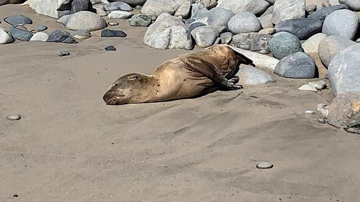 A volunteer rescued this emaciated sea lion pup from a beach in Ventura County last week. It is now a patient at the CIMWI animal hospital.