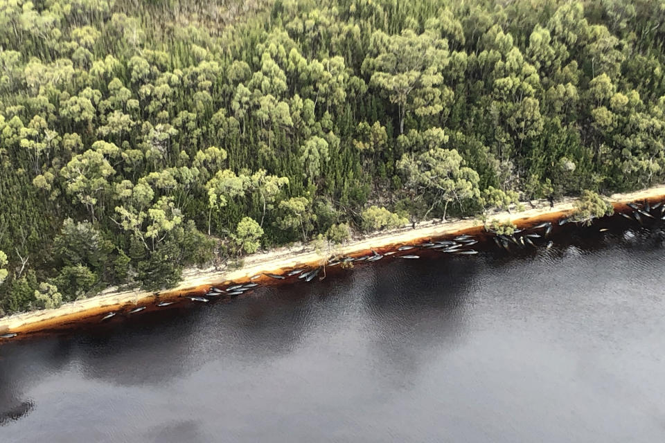 Whale carcasses are scattered along the water's edge near Strahan, Australia, Wednesday, Sept. 23, 2020. (Patrick Gee/Pool Photo via AP)
