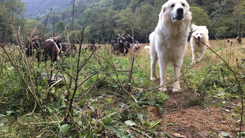 Great Pyrenees dogs bred to protect herds from bears: Pt. 3