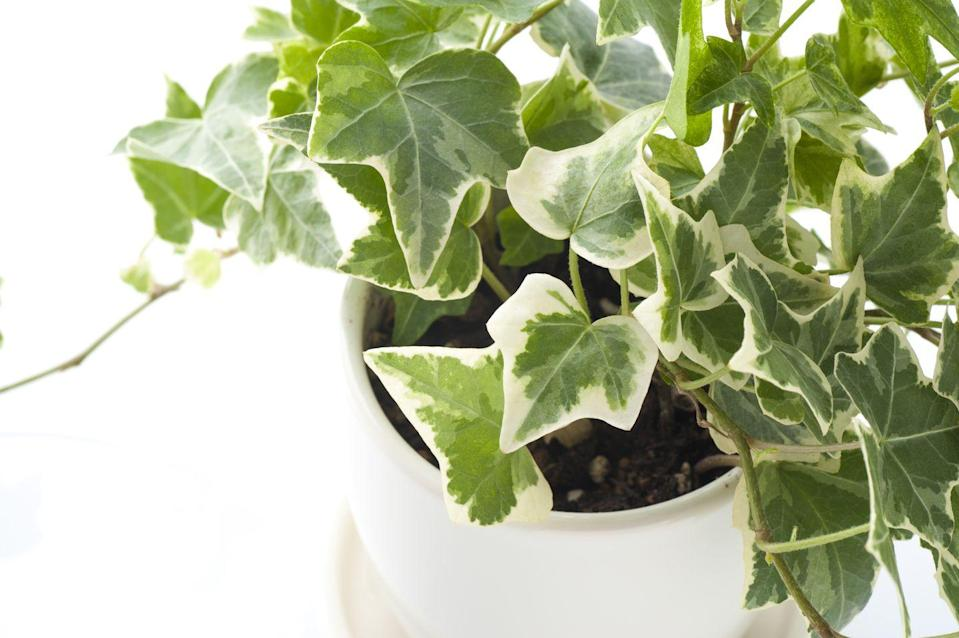 """<p>English Ivy looks beautiful cascading down the sides of a hanging basket or pot. It prefers moderate light but will adapt to low-light conditions. Let it dry completely between waterings.</p><p><a class=""""link rapid-noclick-resp"""" href=""""https://www.amazon.com/AMERICAN-PLANT-EXCHANGE-Easy-English/dp/B07P3N1SBL/?tag=syn-yahoo-20&ascsubtag=%5Bartid%7C10055.g.32440507%5Bsrc%7Cyahoo-us"""" rel=""""nofollow noopener"""" target=""""_blank"""" data-ylk=""""slk:SHOP ENGLISH IVY"""">SHOP ENGLISH IVY</a></p>"""