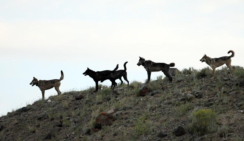 This August 2012 photo shows an image provided by Wolves of the Rockies of the Lamar Canyon wolf pack on a hillside in Yellowstone National Park, Wyo. The pack's alpha female was shot Dec. 6, 2012, in Wyoming, among at least five collared wolves from Yellowstone killed by hunters this fall. Four more wolves collared in the park but no longer living there also have been shot. (AP Photo/Wolves of the Rockies)