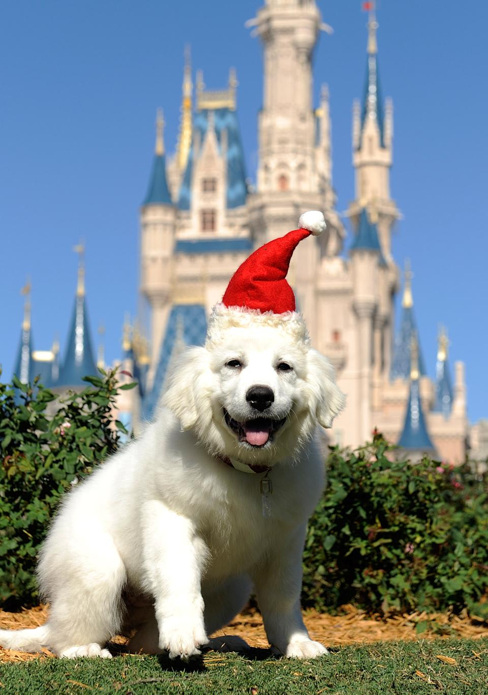 "LAKE BUENA VISTA, FLA - DECEMBER 02:  The canine star of the new Disney holiday movie ""The Search for Santa Paws""  poses during a taping of the ""Disney Parks Christmas Day Parade"" on December 2, 2010 at the Magic Kingdom in Lake Buena Vista, Florida.  The annual holiday telecast airs December 25, 2010 on ABC. (Photo by Mark Ashman/Disney via Getty Images)"