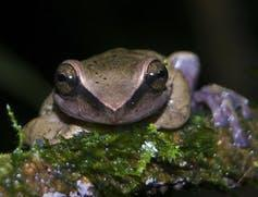 Brown frog on mossy rock.