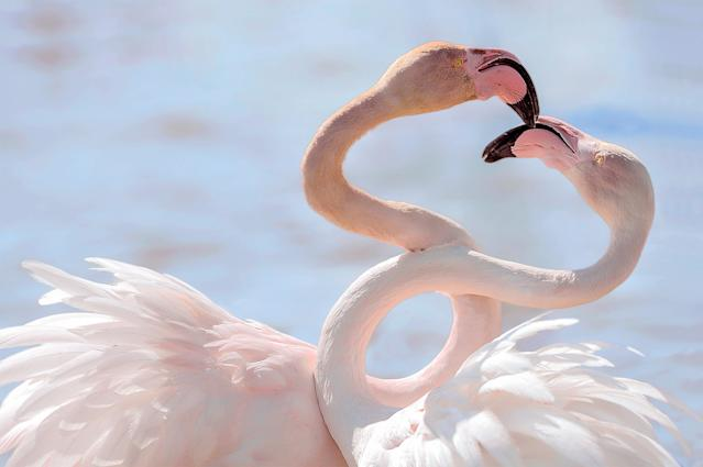 <p>Two flamingoes kissing in the delta of the Rhone in the Camargue, France. (Photo: Massimiliano Bencivenni/Caters News) </p>