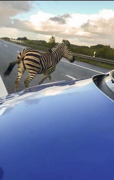 PHOTO: A zebra walks next to a police car on the A20 motorway near the village of Tessin, northeastern Germany, Oct. 2, 2019. (Tilo Wallrodt/AFP/Getty Images)