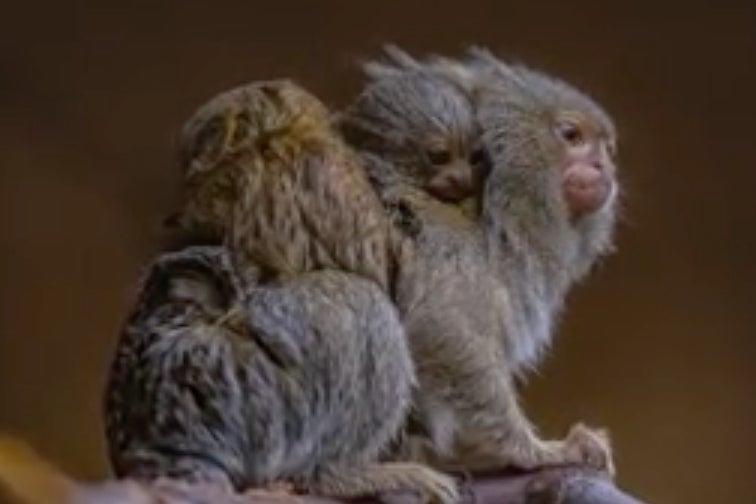 <p>Pygmy marmosets are among the smallest species of monkey in the world</p> (Chester Zoo)
