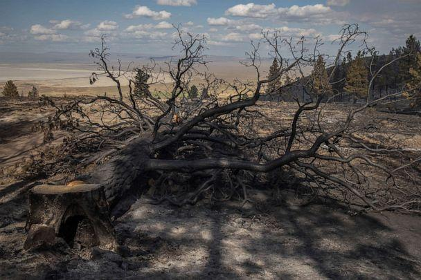 PHOTO: A ponderosa pine tree is cut down after being charred by the Brattain Fire in the Fremont National Forest near Paisley, Oregon, Sept. 19, 2020. (Adrees Latif/Reuters)