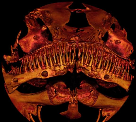 Here, a close-up scanned image of the bony structures in the toothy face of the catfish called <em>Kryptoglanis shajii</em> that lives in the Western Ghats mountains in India.