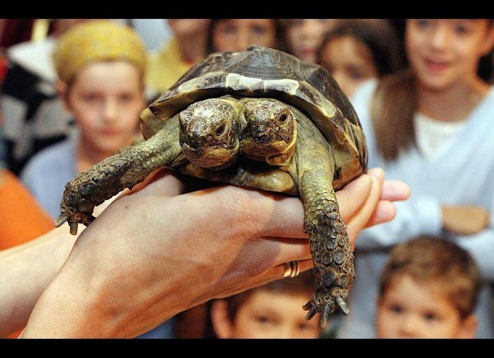 Janus, the Geneva Museum of Natural History's two-headed Greek tortoise, is presented to the press and the public during the official celebration of its 10th birthday on Sept. 5, 2007. Janus, named after the two-headed Roman god was born Sept. 3, 1997.