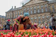 <p>A woman picking up tulips on the Dam Square in Amsterdam during the National Tulip Day</p>
