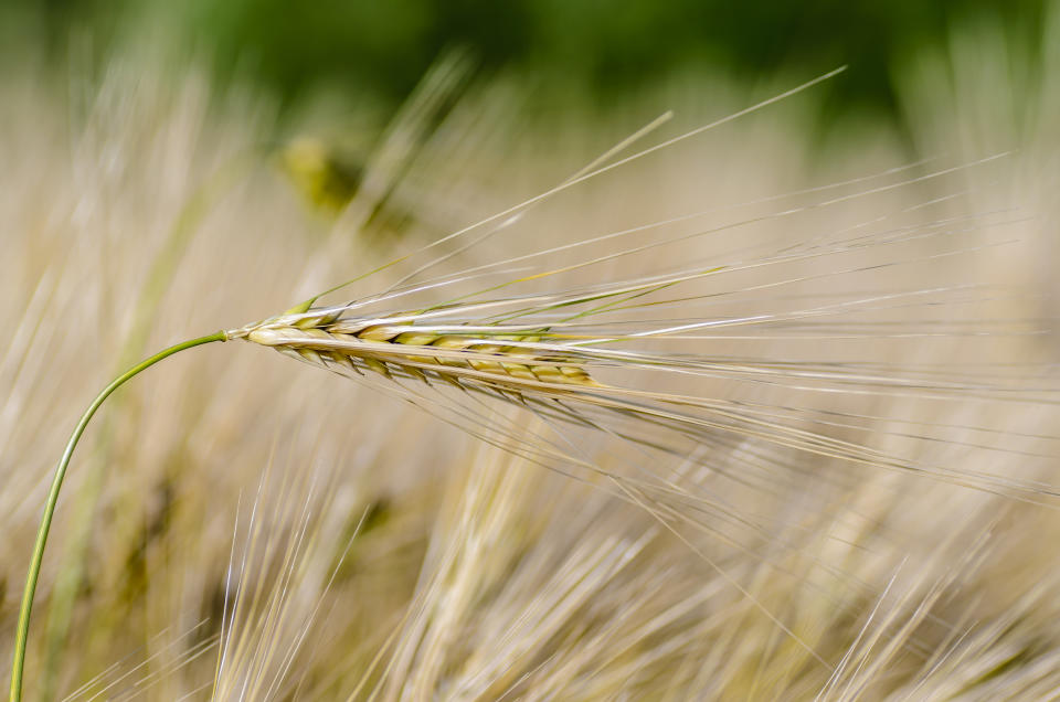 Ripe ear of barley with a long dense awn on the field in early summer