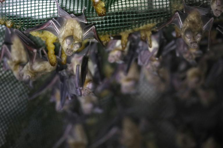Israeli rangers and ecologists repurposed abandoned military outposts with plastic netting, construction foam, thin ropes and plaster scraped with a fork to create footholds for bats roosting in the structures (AFP Photo/MENAHEM KAHANA)