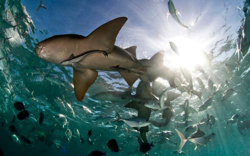 Sharks in the Hol Chan Marine Reserve in Ambergris Caye, Belize - Credit: Antonio Busiello/WWF/PA