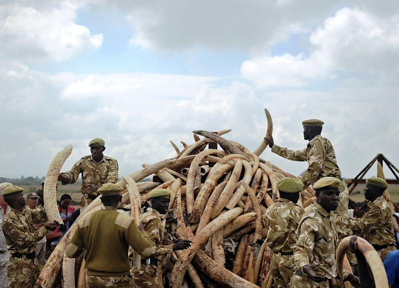 Kenya Wildlife Services (KWS) rangers pile up elephant ivory onto a pyre on April 20, 2016, at Nairobi's national park in preparation for a historic burning of tonnes of ivory, rhino-horn and other confiscated wildlife trophies (AFP Photo/Tony Karumba)